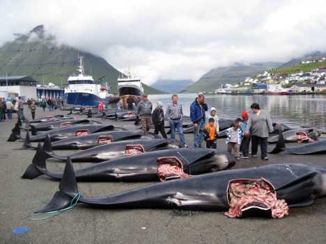 Petition: Walfang auf den Färöer Inseln stoppen!