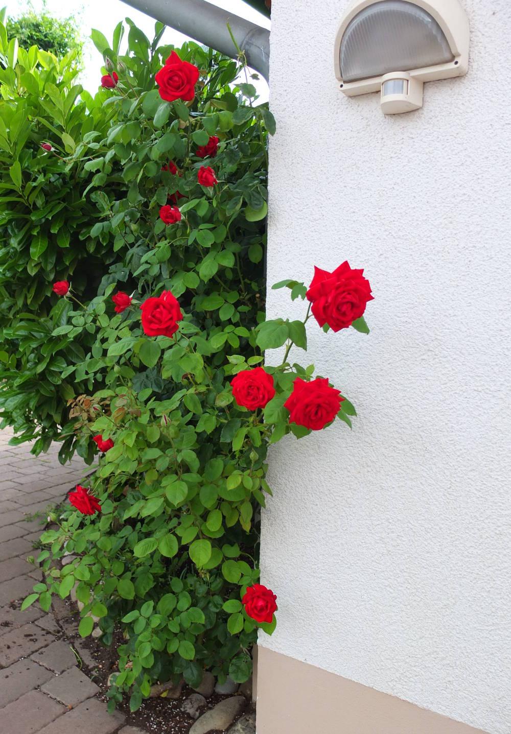 gesunde-rosen