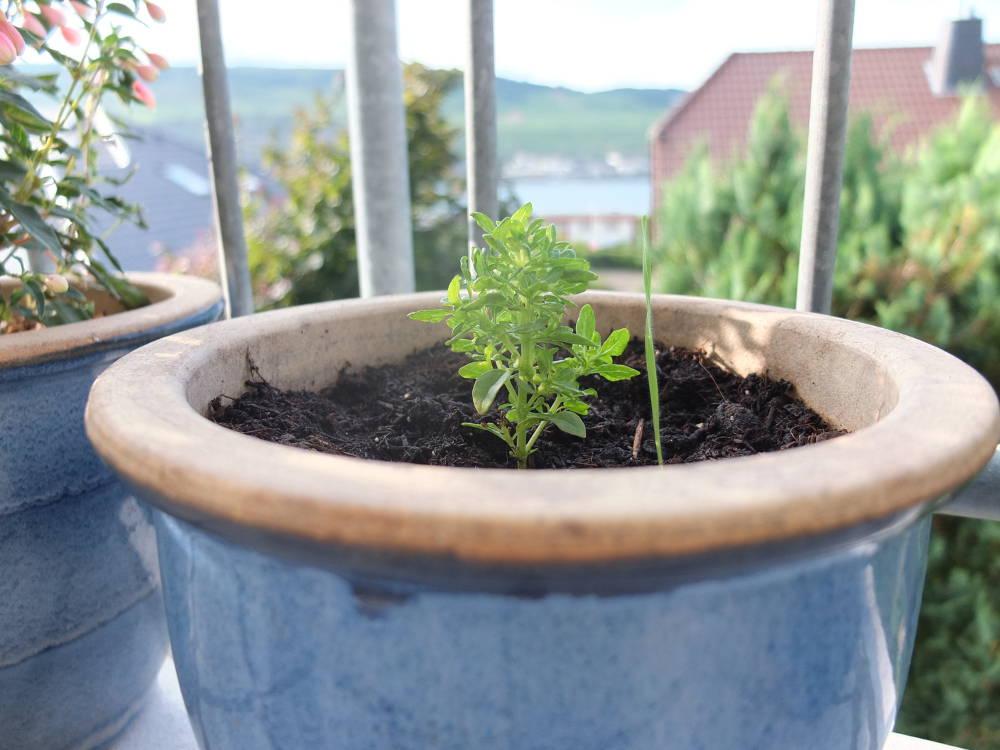 mein-woody-buschbasilikum