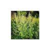 Samen Schenker Artemisia Annua Portionssaatgut